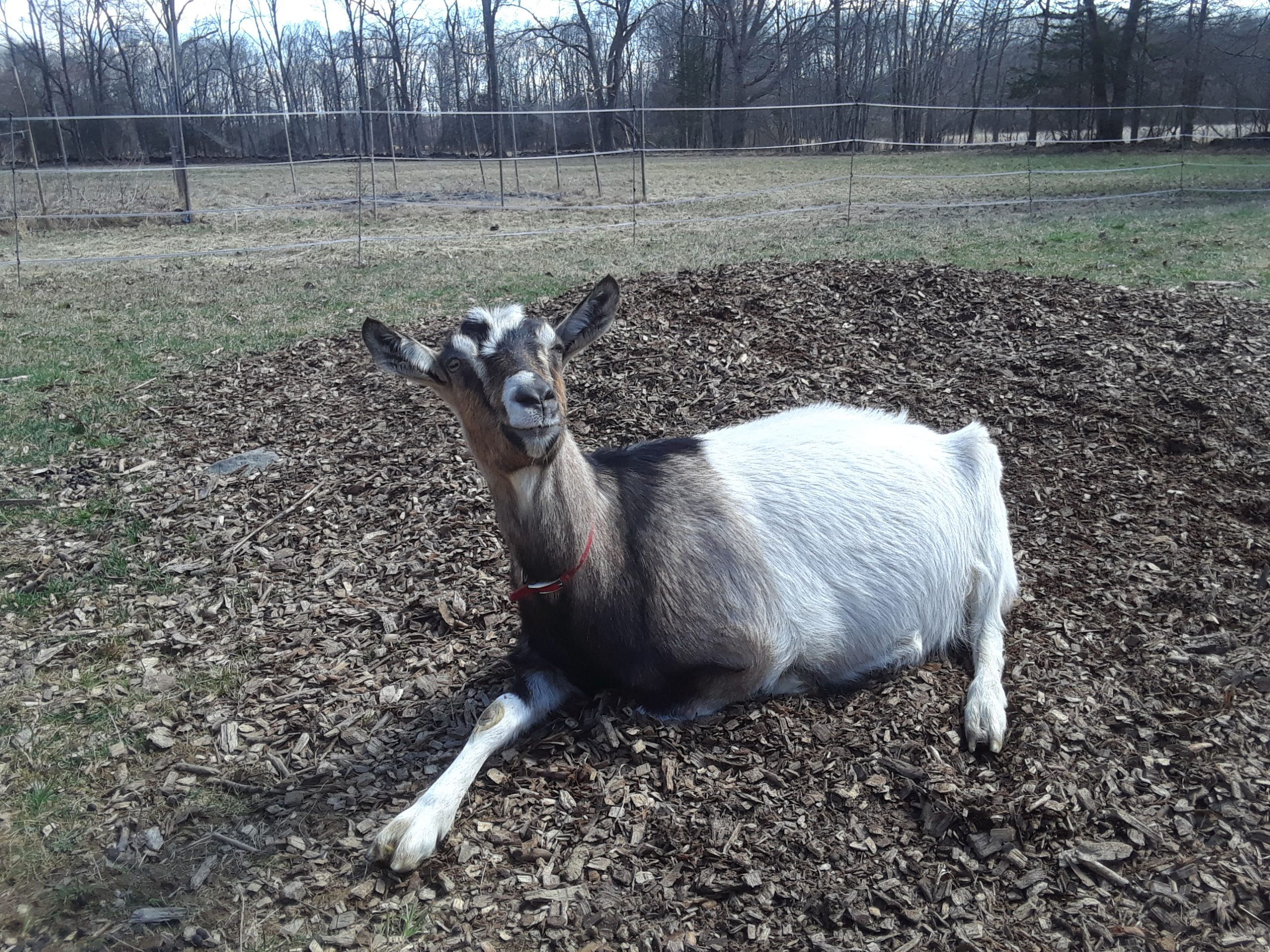 All of our kids will be born in April this year, unless some goat thinks otherwise